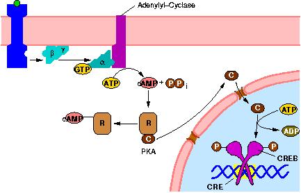 signal transduction pathway  Botanik Band II: Physiologie